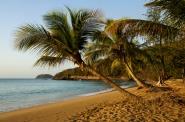 Palm Tree on Pearl Beach - Plage de la Perle, Deshaies, Guadeloupe, France