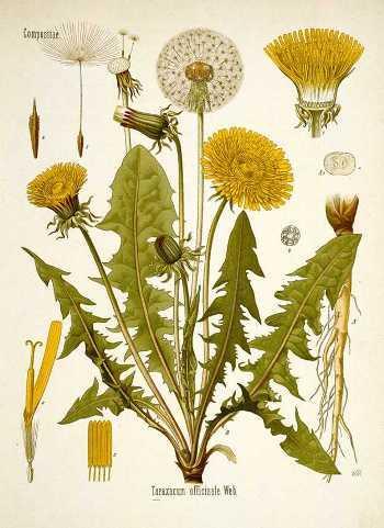 dandelions-healing-properties