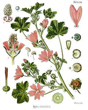 mauve-feuille-herboristerie en ligne