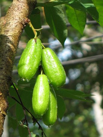 450px-Averrhoa_bilimbi_fruit_by_Sugeesh