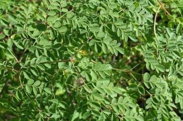 onde-encontrar-sementes-e-folhas-da-planta-da-moringa-para-comprar