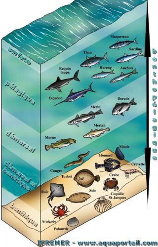 pelagique-demersal-benthique