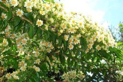 mudas-de-ora-pro-nobis-a-planta-de-deus-14112-mlb3868493466_022013-f-768x512