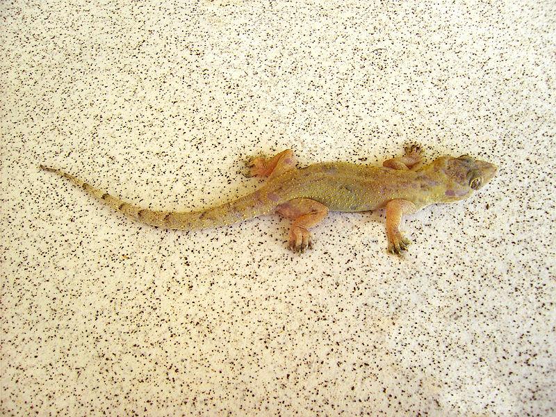 800px-Hemidactylus_mabouia_(Dominica)