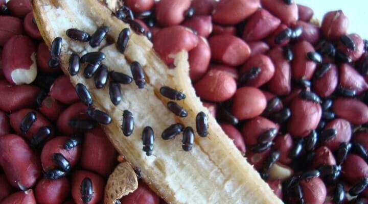besouro-amendoim-260044955.jpg
