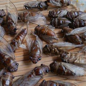 cicada1-300x3001758987239.jpg