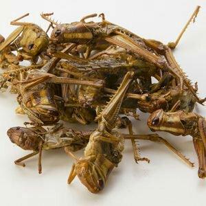 locust1-300x300889867760.jpg